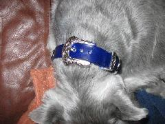 Dog-Collars-Blue-SilverBuckle.jpg