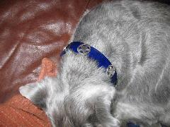 Dog-Collars-Blue-SilverStars.jpg